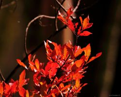 Flames of fall color by natureguy
