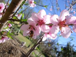 Peach Blossoms! by Ninetails153