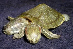 Deformed 2 Head 5 Leg Turtle 3 by DETHCHEEZ