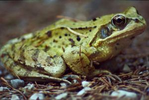 Relaxed Frog by lordschaft
