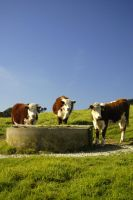 Bovine Brothers by lsax001
