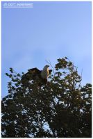 Africa 11: The Fish Eagle by JR-Dept