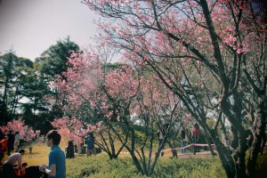 Cherry Blossoms #2 by Onigiripencil