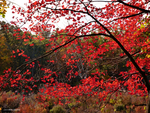 Silver maple turns red by Mogrianne