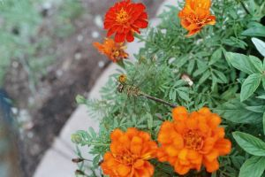 Orange Flowers and a Dragonfly by Radical-Doubt