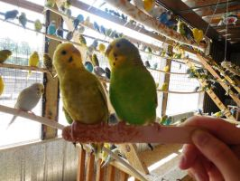 Hungry Budgies by evangeline40003