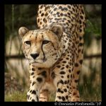 Cheetah Yoga by TVD-Photography
