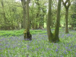 Bluebell forest 4 by Jezhawk-stock
