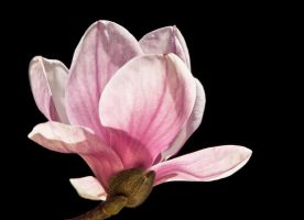Pink Magnolia by muffet1