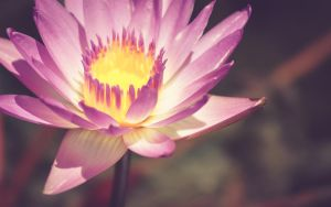 Water Lily Wall by pagit