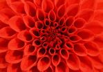 Red Dahlia by PoultryChamp