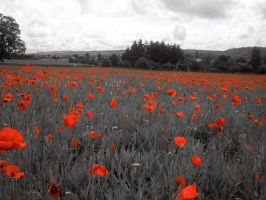 Poppies in France by mark-flammable