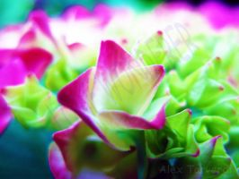 Touch of pink by lonewonderer