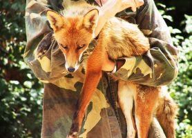 Red Fox 01 by FoxRAGE-Stock
