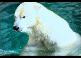 White Bear by Sagittor