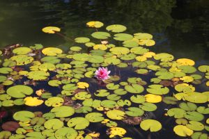 Water Lily by photoshop-stock