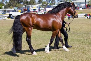 STOCK - Gold Coast show 253 by fillyrox