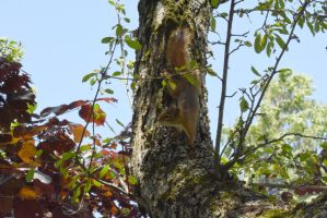 Red Squirrel On the Tree Trunk, Halifax Gardens by Miss-Tbones