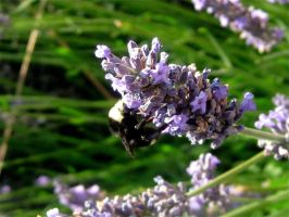 Bee with Lavender by SweetSurrender13