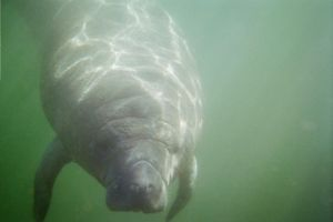 Manatees by schmackers