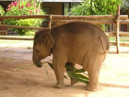 Baby Elephant by ryhei