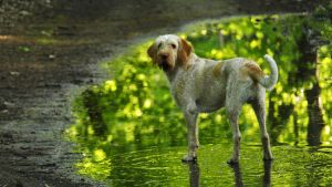 Spinone Italiano on pond by Rapace04