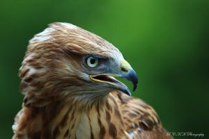 Buzzard_1 by PiTurianer