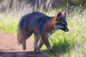 Santa Cruz Island Fox by Ironpaw