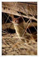 Edison the Ermine III by Foxtography