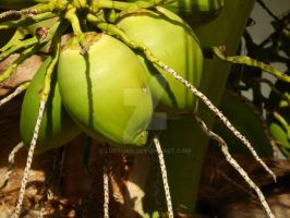 Coconuts growing by Lustuad
