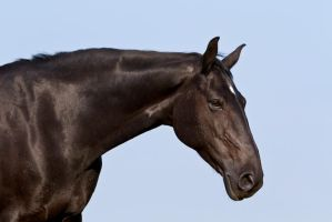 Black Beauty Warmblood Stock by LuDa-Stock