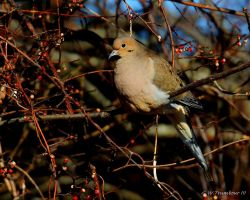 Sunny Morning Dove by natureguy