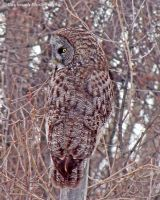 Great Gray Owl by caybeach