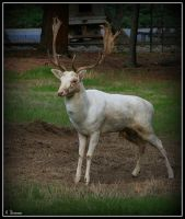 White Deer 2 by Phantom-Tora