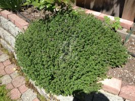 Huge English Thyme by Bwabbit