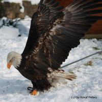 Weisskopfseeadler Bald Eagle  3 by bluesgrass
