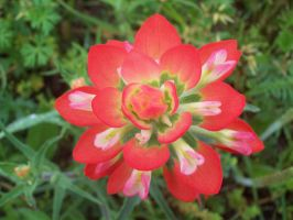 Top of an Indian Paintbrush by JohnnyDeppsGirl4life