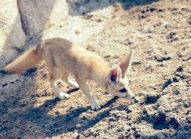 fennec fox. by michifish