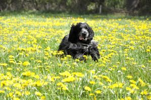 SPRING SPANIEL by herooftheheadset