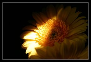 Gerbera by Jangeborn