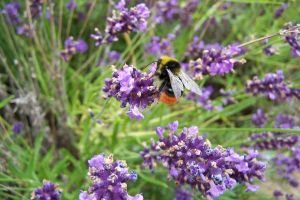 Bee on lavender by Brianetta