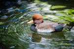 Red-Crested Pochard by JonShotFirst