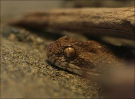 Saw-scaled Viper by oOBrieOo
