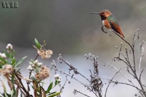 Small Hummingbird 2 by WesHPhotography