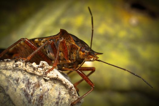 Forest Bug (Pentatoma rufipes) by Azph
