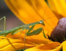 Praying mantis 20D0039883 by Cristian-M