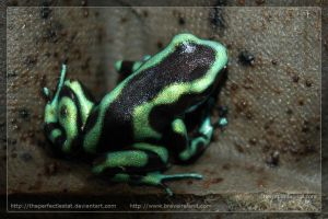 Dendrobates auratus by theperfectlestat