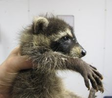 Last Look at Last Year's Raccoons 8a by Windthin