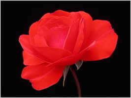 BRIGHT RED ROSE by THOM-B-FOTO