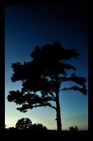 Silhouette of Pine by iKillDesigns